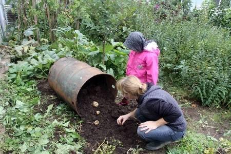 Картофель в бочке, опыт выращивания - как вырастить картошку в бочке - запись пользователя ираида (iraidal) в сообществе сад, огород в категории овощи, однолетние культуры - babyblog.ru