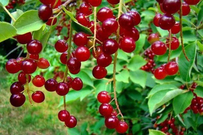 Гибриды вишни с черемухой, сливой, черешней