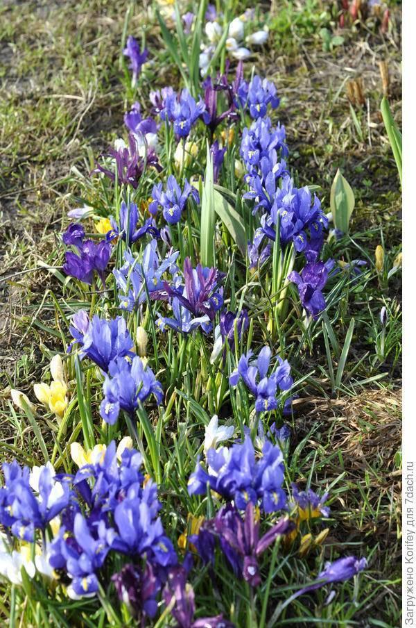 Уход за ирисами в открытом грунте после цветения (подготовка к зиме)