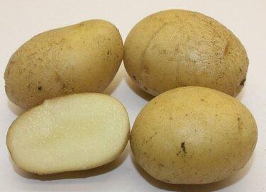 """Картофель """"метеор"""": подробное описание сорта, характеристика картошки, ее особенности и фото"""