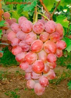 Характеристики винограда аркадия
