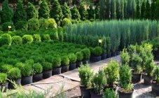 Туи колоновидные: разновидности, выбор и рекомендации по выращиванию
