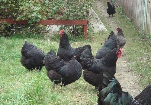 Московская черная порода кур: характеристика и описание, особенности содержания