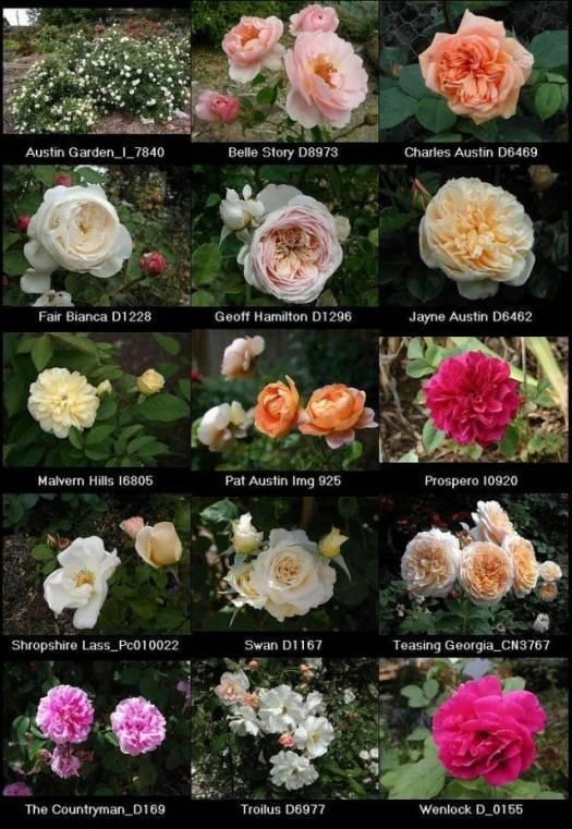 Как правильно обрезать комнатную розу?