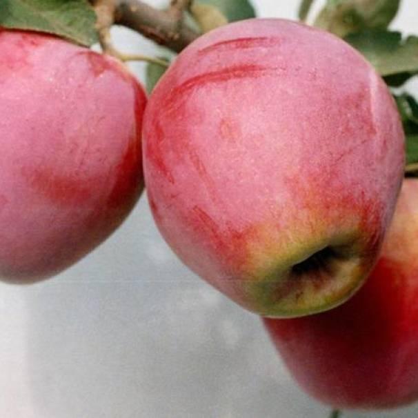 О яблоне строевское: описание сорта, характеристики, агротехника, выращивание
