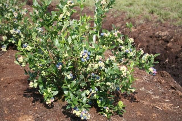 Растение голубика садовая (vaccinium): описание и выращивание (с фото)