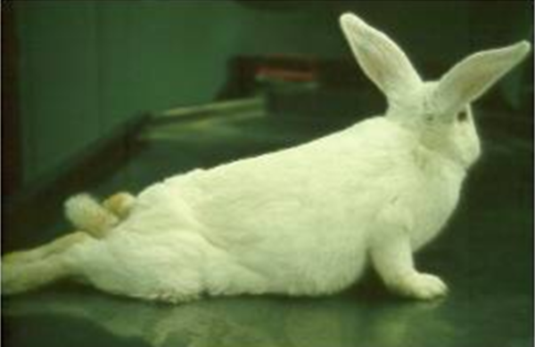 Кролика отказали задние ноги лечение