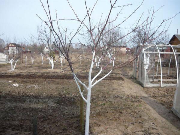 Побелка деревьев известью (приготовление раствора, состав и сроки)