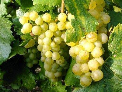 Лучшие винные сорта винограда