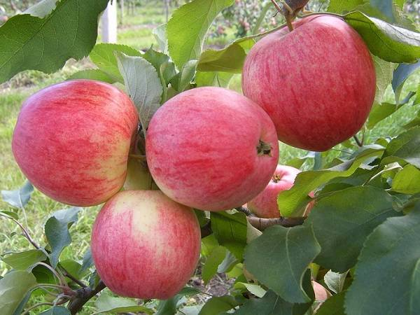 Яблоня анис алый: описание сорта и фото