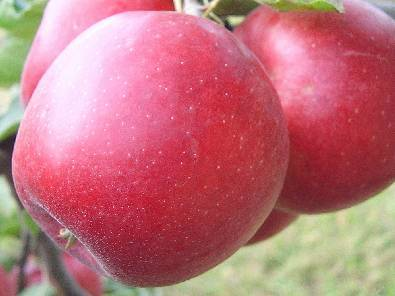 Сорт яблок хани крисп (медовый хруст)