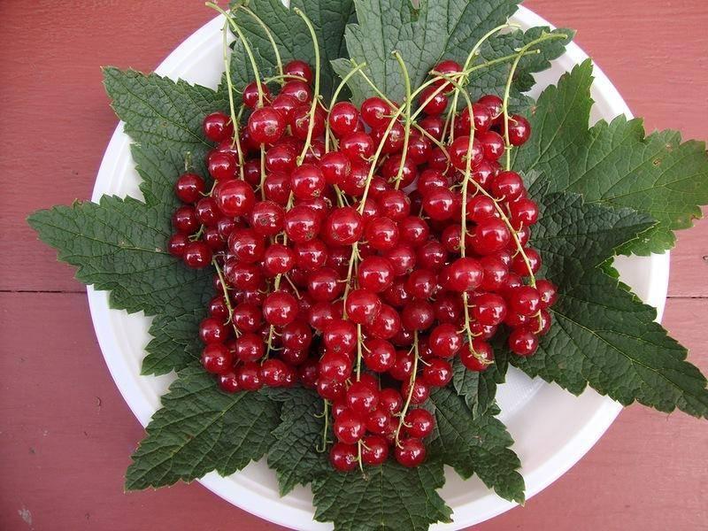 20 самых лучших сортов красной смородины с фото и описанием