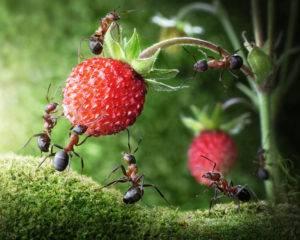 О муравьях на клубнике: что делать, как избавиться, чем обработать куст