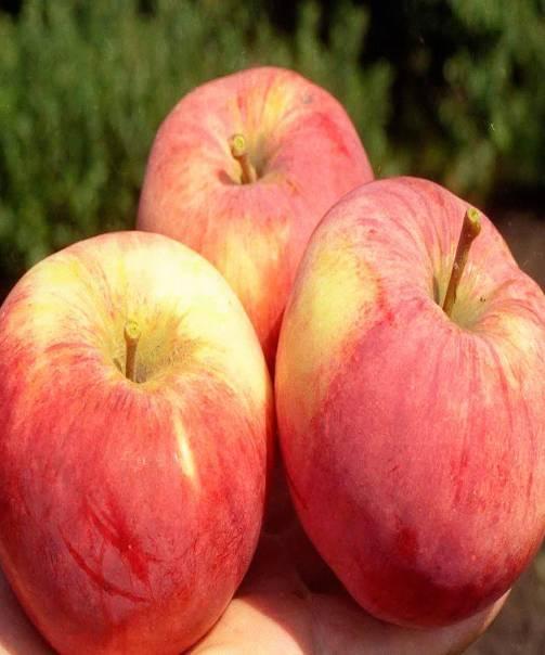 Сортовая яблоня кандиль орловский: описание сорта, фото
