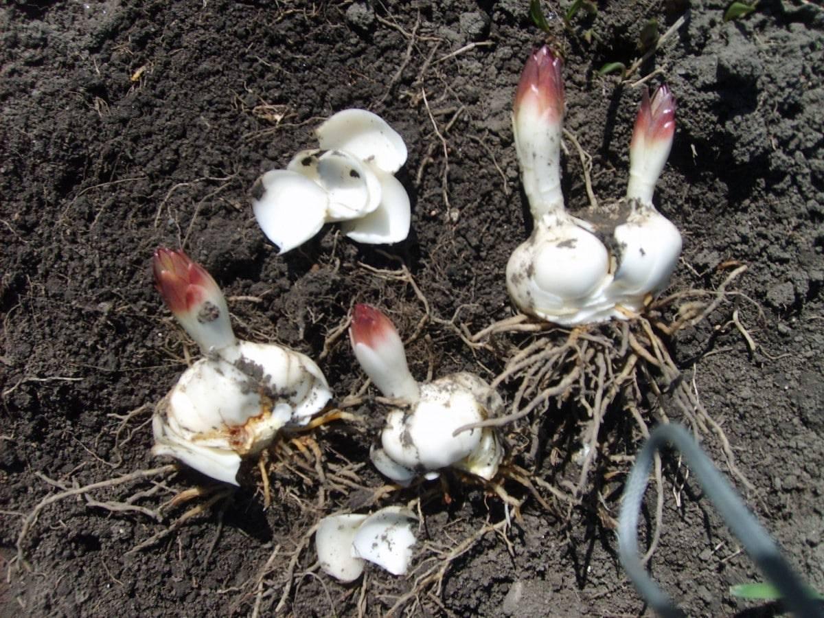 Посадка и уход за лилиями в открытом грунте