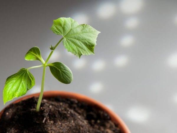 Посадка огурцов на рассаду – сроки, как правильно выбрать и подготовить семена, варианты посева