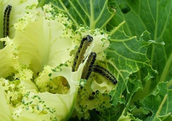 На капусту напали гусеницы, что делать. чем обработать капусту от гусениц. лучшие народные средства