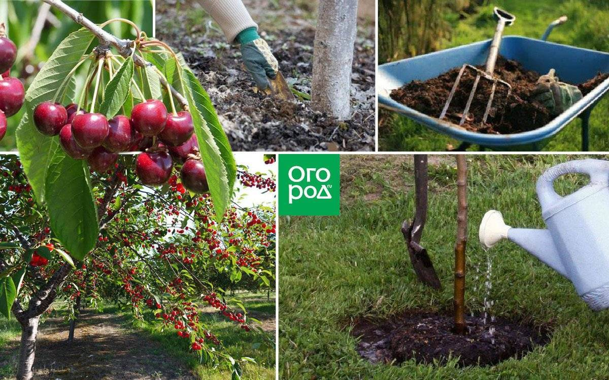 Как посадить вишню – советы опытных садоводов