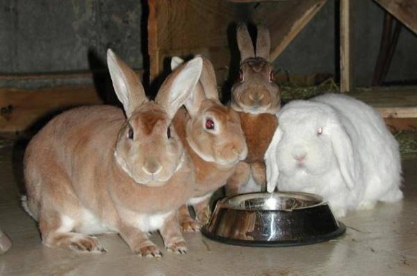 Байкокс – инструкция по применению: для птиц, кроликов, цыплят, бройлеров