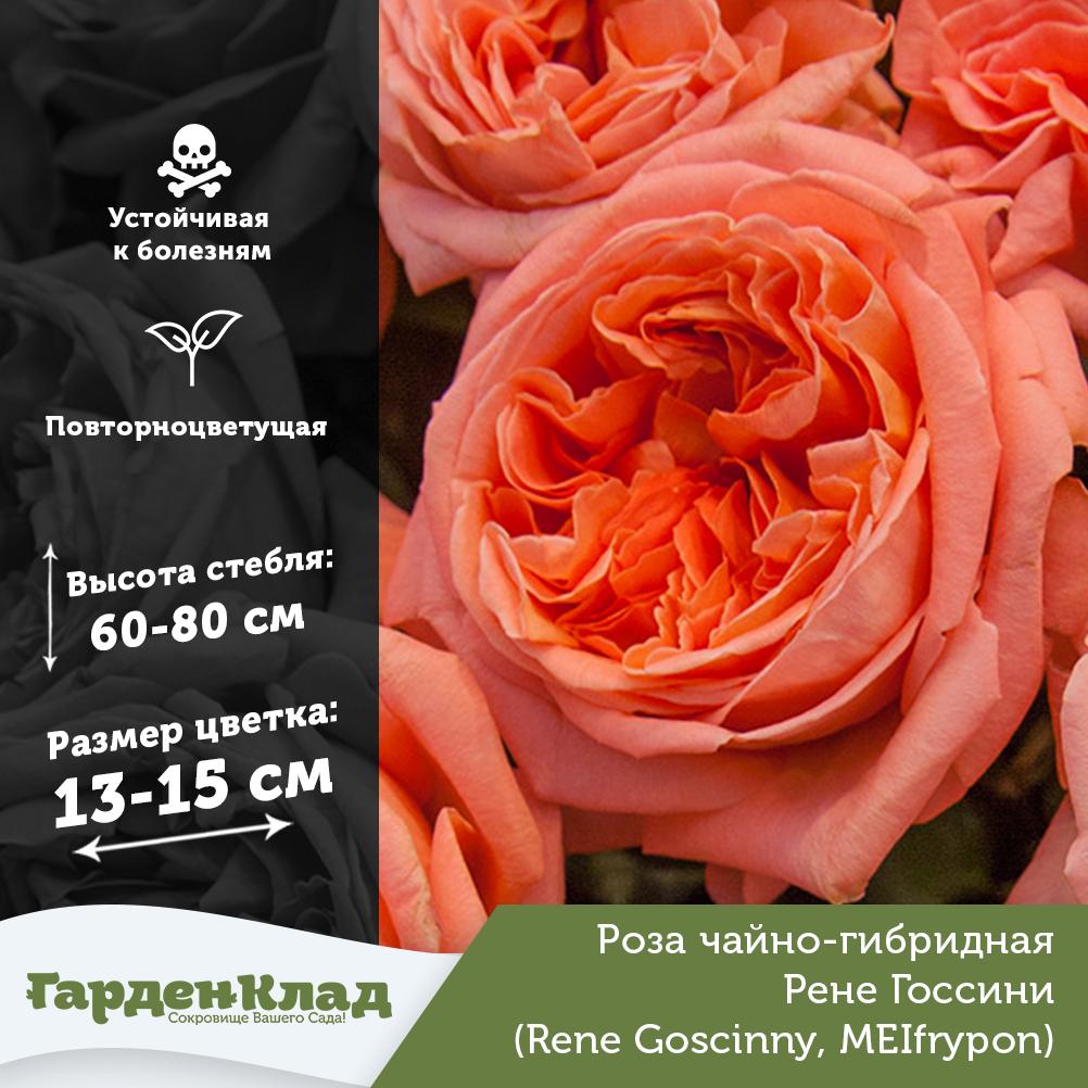 Парковые розы: описание сортов и условия выращивания