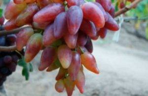Выращивание винограда дубовский розовый