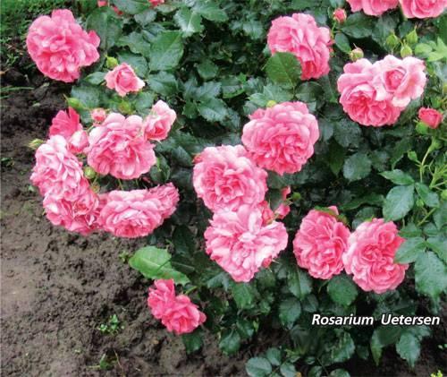 Роза ругоза: посадка и уход в открытом грунте