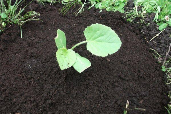 Тыква, выращивание и уход в открытом грунте, как поливать, как прищипывать, чем подкормить