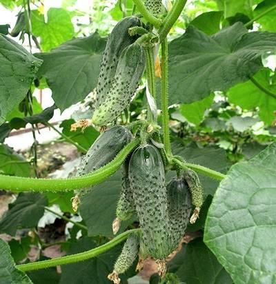 Огурец бинго f1 - описание сорта корнишонов, правила выращивания и ухода