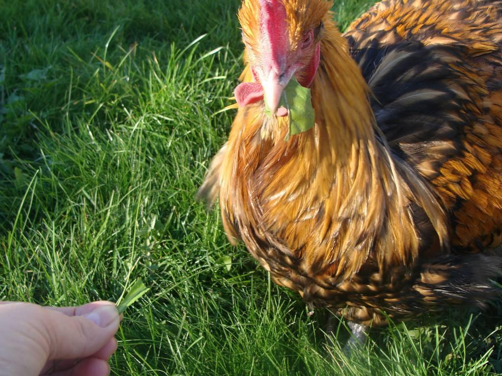 Надо или нет ошпаривать крапиву для куриц. корм для птиц