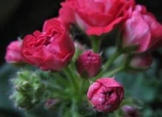 Пак вива розита пеларгония