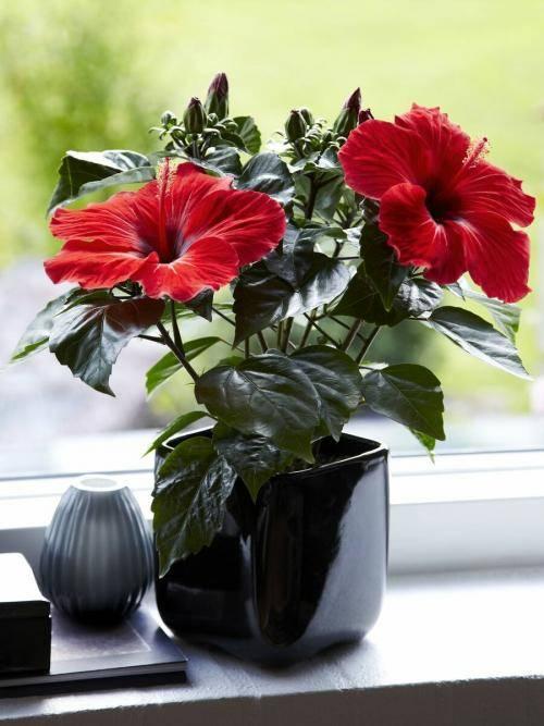 Китайская роза комнатная (гибискус) — сорта, уход и размножение
