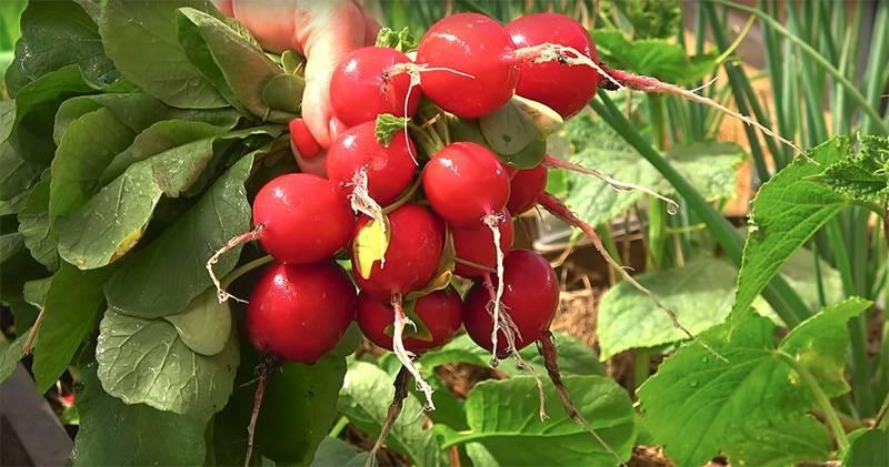 Преимущества посева редиски весной в открытый грунт. когда сажать овощ в это время года и как за ним ухаживать?
