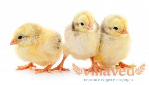 Динкур — инструкция по применению для кур и других птиц