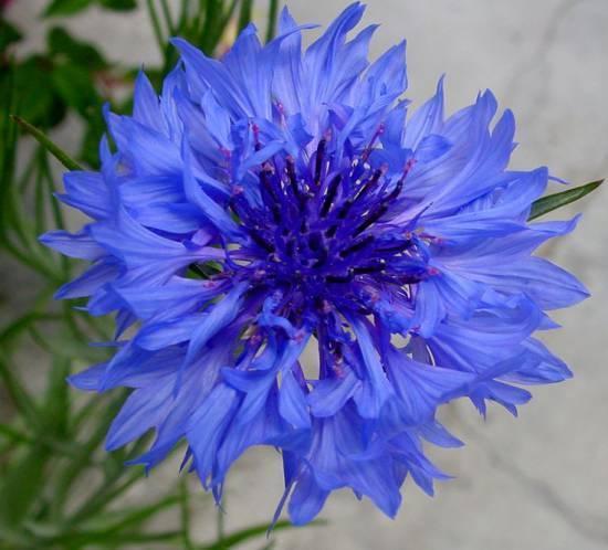 Василек: фото, как выглядит и как растет василек, размножение растения