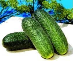 Огурцы адам: 8 особенностей и 12 советов по выращиванию и уходу