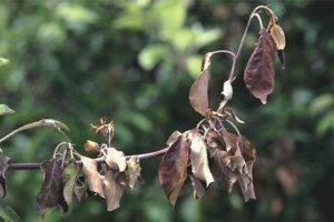 Польза и противопоказания листьев айвы