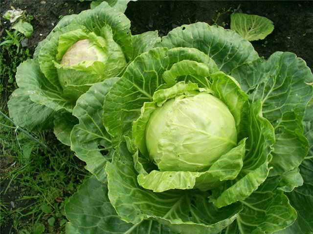 Выращивание рассады капусты в домашних условиях пошагово