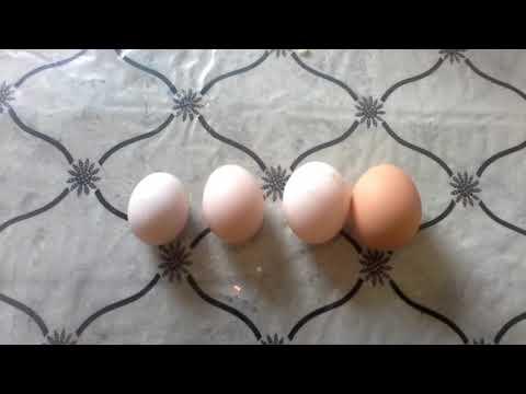 Почему куры-несушки несут мелкие яйца?