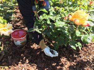 Чем и как можно подкормить хризантемы?