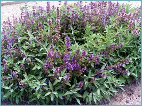 Выращиваем шалфей однолетний для сада.   красивый дом и сад