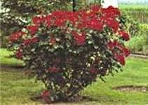 Роза «робуста» (robusta): посадка и уход
