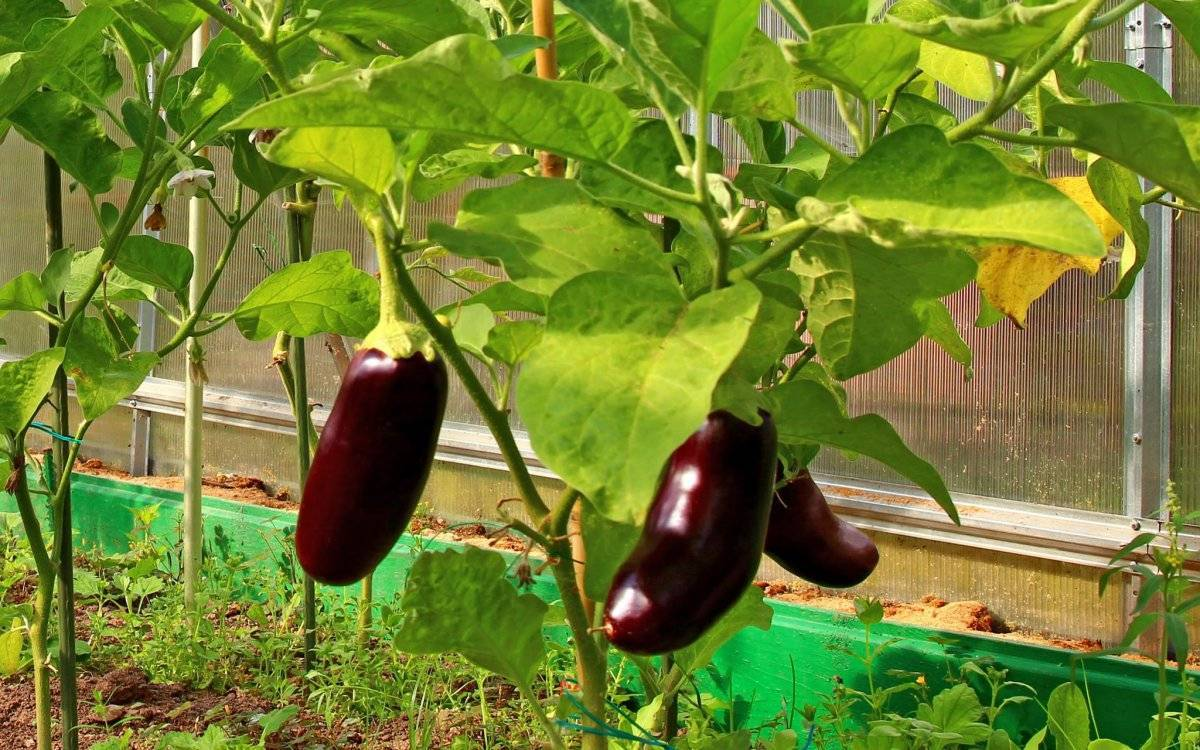 Как высадить и вырастить баклажаны в теплице