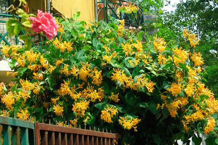 Какой вид жимолости выбрать для своего сада?