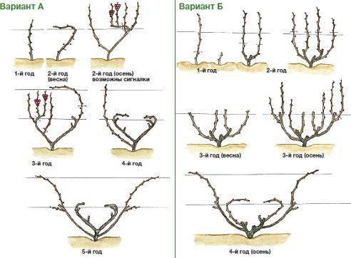 Веерное формирование куста винограда, схема, кордонные формировки