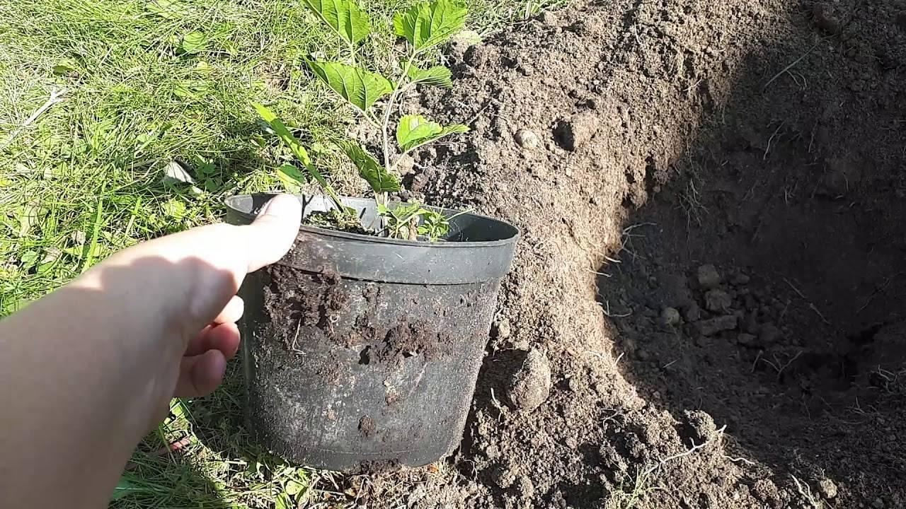 О шелковице в Подмосковье: выращивание и уход, какой сорт выбрать