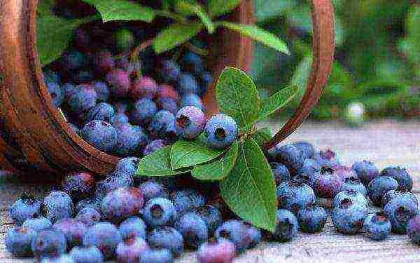 Как правильно посадить садовую чернику на участке: способы посадки