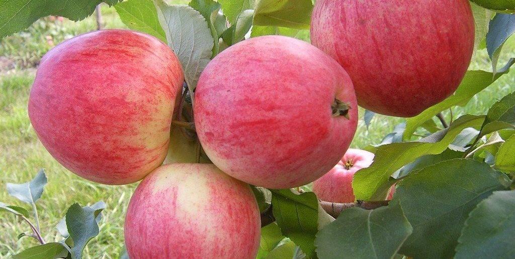 Сорта яблони (описания и фото) имеющиеся в саду