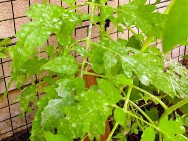 Желтые пятна на листьях томатов: причины, лечение, профилактика