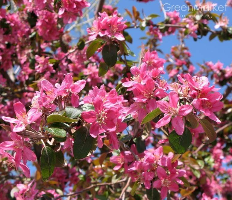 Характеристика и агротехника выращивания яблони сорта айнур