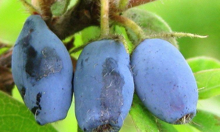 Жимолость съедобная, посадка и уход, размножение, почва, чем подкормить весной?